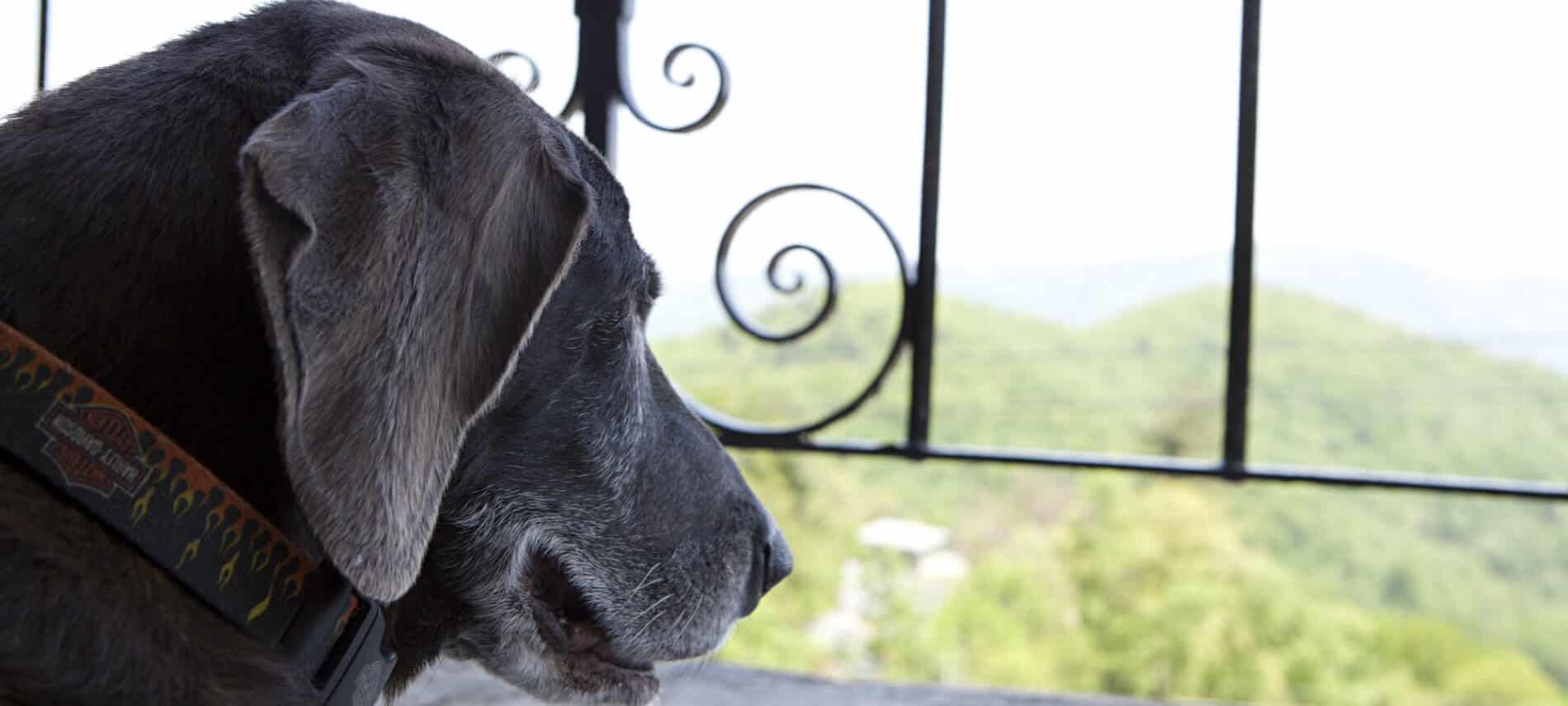 close up view of a dog looking through a metal balcony railing wearing a Harley Davidson collar